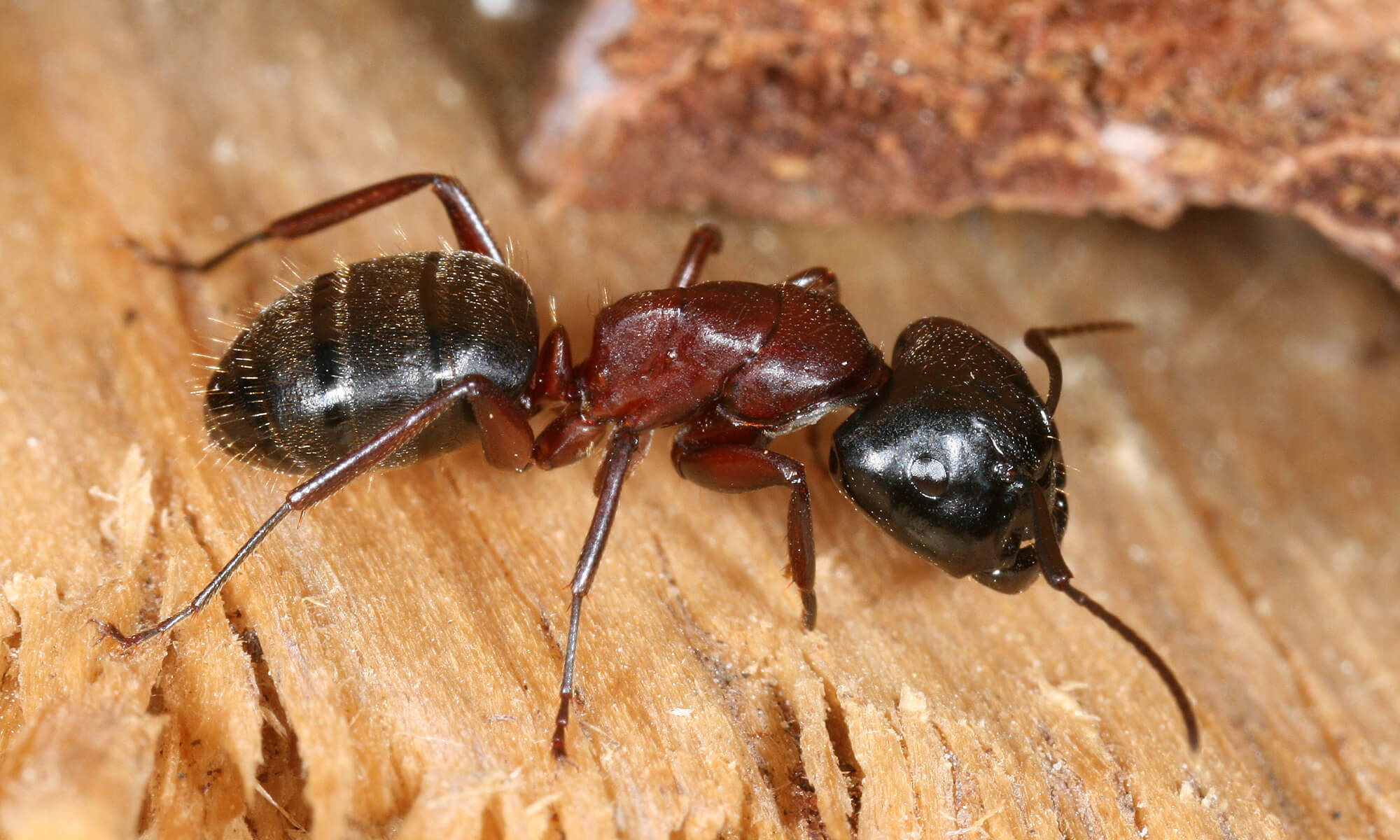 Comment Se Débarrasser Des Fourmis Dans Ma Maison bédard gestion parasitaire et déprédation – fourmis