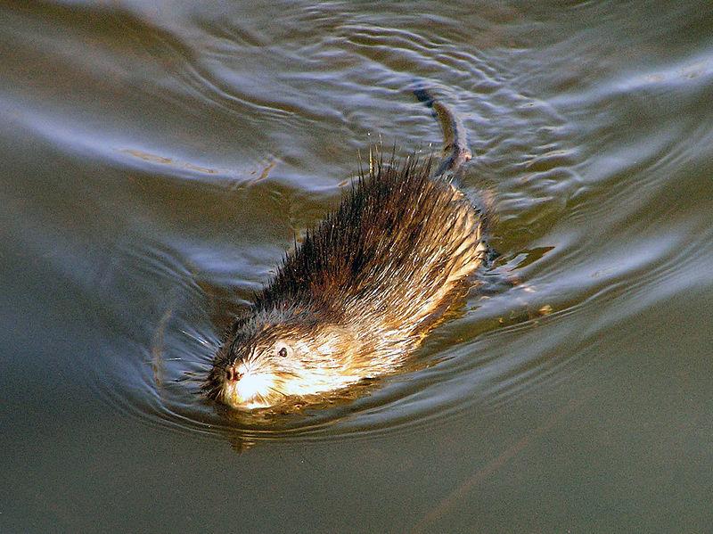 rat sherbrooke