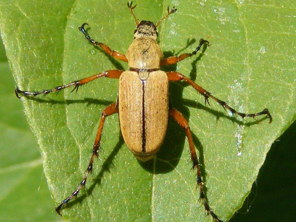 scarabée du rosier magog