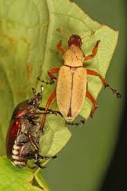 scarabées estrie