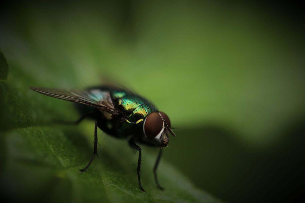 Extermination de mouches